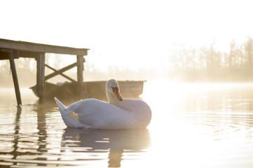 zwaan in het water in de ochtend