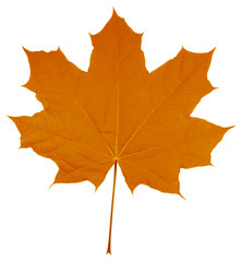 Maple Leaf isolated - Orange