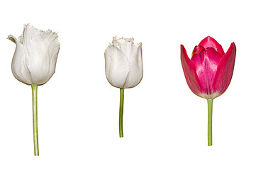 Collection of different tulips isolated over white background