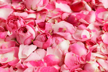 Petals and buds of tea roses background