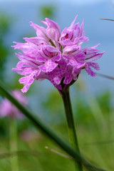 Orchide screziata 14