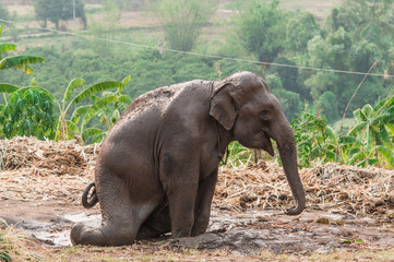 Elephant on the mud.
