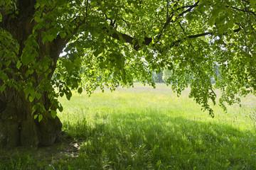 Pod zieloną lipą na tle kolorowej łąki. Miły widok w parku w słoneczny wiosenny dzień.