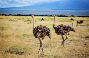 Two African Ostrich birds in Kenya