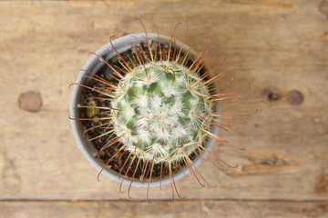 Top view of cactus Mammillaria Bombycina in grey pot on wooden plank