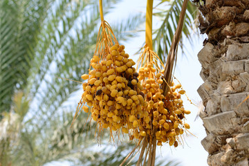 Cluster of ripening dates hanging from a date palm