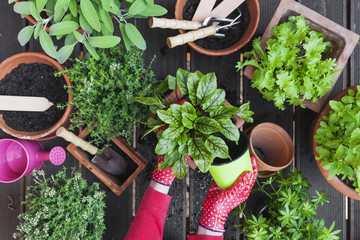 Gardening, medicinal and kitchen plants