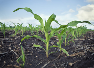 Low Angle View of Young Corn Plants in a Field