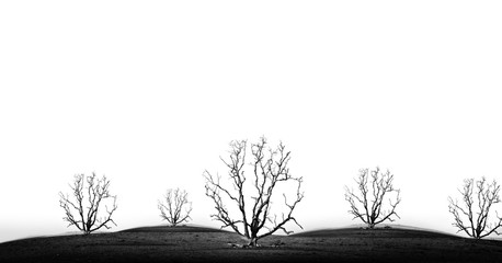 die tree isolate - concept picture of bad enviroment in black and white tone