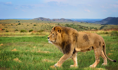 The beautiful lion in African savannah. Amazing landscape.