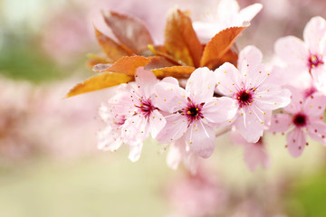 Blooming tree branches in spring, closeup