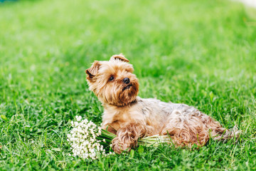 Beautiful Yorkshire Terrier Dog with bouquet of flowers on the green grass..