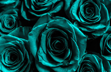 blue roses isolated on a black background. greeting card with f