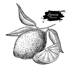 Vector hand drawn lemon or lime fruit with leaves on branch.