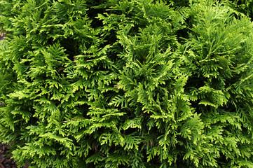 Thuja. Natural green background. Wall mural