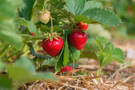 Reife rote Erdbeeren und nachwachsende grüne Erdbeeren am Erdbeerstrauch auf der Erdbeerplantage