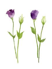 紫と白のトルコ桔梗 花とつぼみ 水彩イラスト