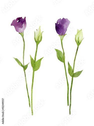 紫と白のトルコ桔梗 花とつぼみ 水彩イラストfotoliacom の ストック