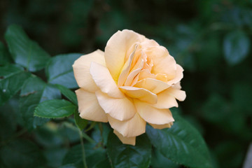 Flower of yellow roses on a bush