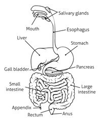 Digestive Tract System Illustration