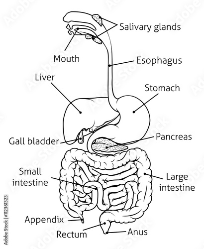 Digestive Tract System Illustration Stock Image And Royalty Free
