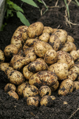 Bunch of potatoes laying on the ground