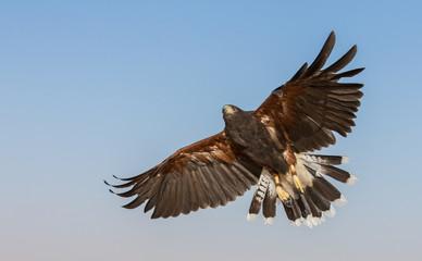 Hawk gird about to land in a desert near Dubai, UAE