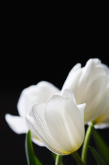 white tulips on a dark background. vertical, space for text