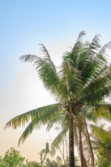 Coconut tree in the farm with the blue sky.