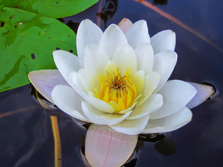 Lily white flower on lake