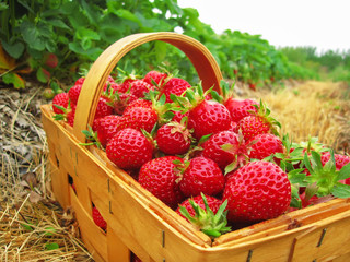 Red strawberries in a wooden basket
