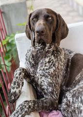 German pointer dog posing in garden