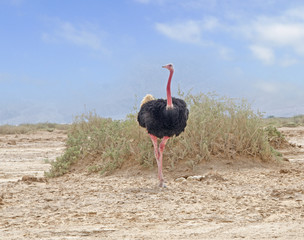 Ostrich in Hai-Bar Nature Reserve, Israel