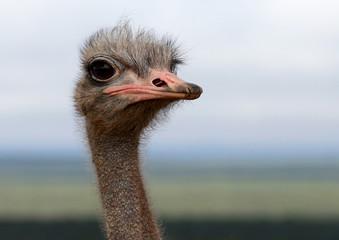 Wild Ostrich Portrait
