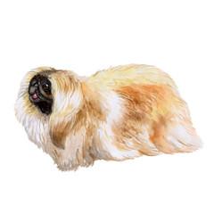 Watrcolor portrait of pekingese dog