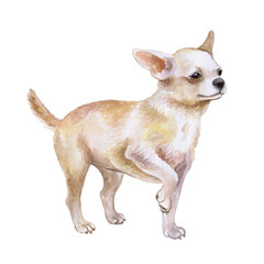 Watercolor closeup portrait of chihuahua dog isolated on white background. funny dog posing on dog show. Hand drawn sweet home pet. Popular toy smallest dog. Greeting card design clip art illustration