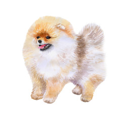 Watercolor closeup portrait of Pomeranian dog isolated on white background. funny dog showing tongue. Hand drawn sweet home pet. Popular toy breed dog smiling. Greeting card design. Clip art work