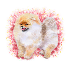 Watercolor closeup portrait of Pomeranian dog isolated on pink background. funny dog showing tongue. Hand drawn sweet home pet. Popular toy breed dog smiling. Greeting card design. Clip art work