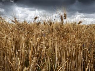 wheat field storm