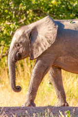 Fototapete - Wild African elephant walking