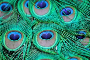 Extreme close-up details of an Indian male peacock (Pavo cristatus) tail quill feathers, selective focus.