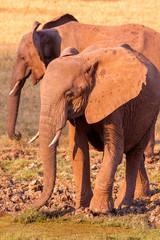 Fototapete - Wild African elephants at the waterhole