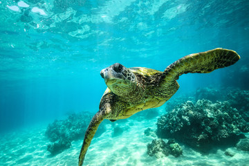 Foto op Aluminium Schildpad Giant tortoise close-up swims underwater ocean background of corals