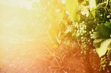 Vineyard landscape at sunset light. vintage filtered image