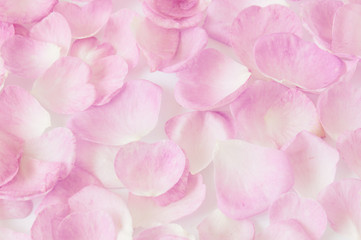 Pink rose petals frame isolated on white background