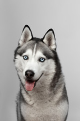 Adorable black and white with blue eyes Husky. Studio shot. on grey background. Focused on eyes