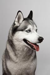 Adorable black and white with blue eyes Husky. Studio shot. on grey background. Focused on eyes