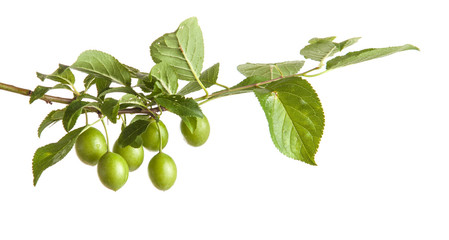 branch of plum tree with green unripe fruits. isolated on white