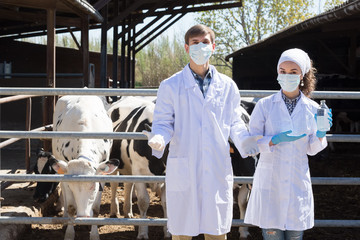 Serious man and woman veterinarian standing close to cows