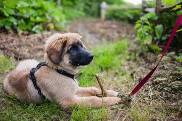Leonberger puppy chewing on stick